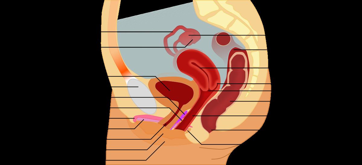 reproduktivni sistem žene podložan je hlamidiji